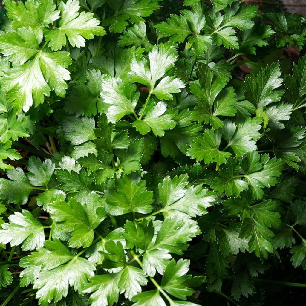 Organic Parsley | List of vegetables and herbs you can grow year round