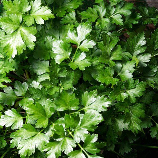 Parsley Dark Green Italian Flat Leaf Seed