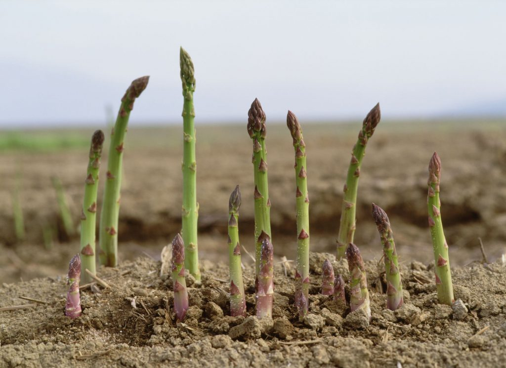 Asparagus | Vegetables that grow year-round