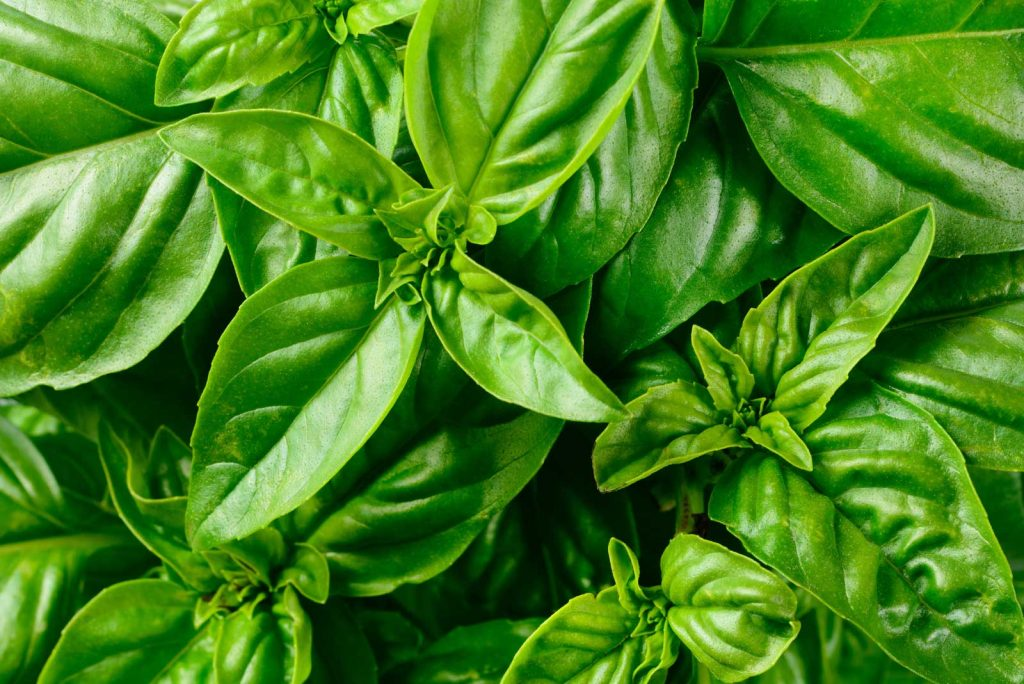 Basil | List of herbs you can grow year round at home