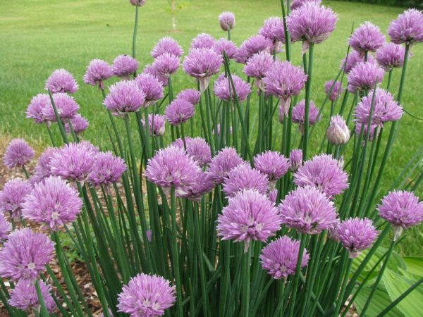 Onion Chives Seeds