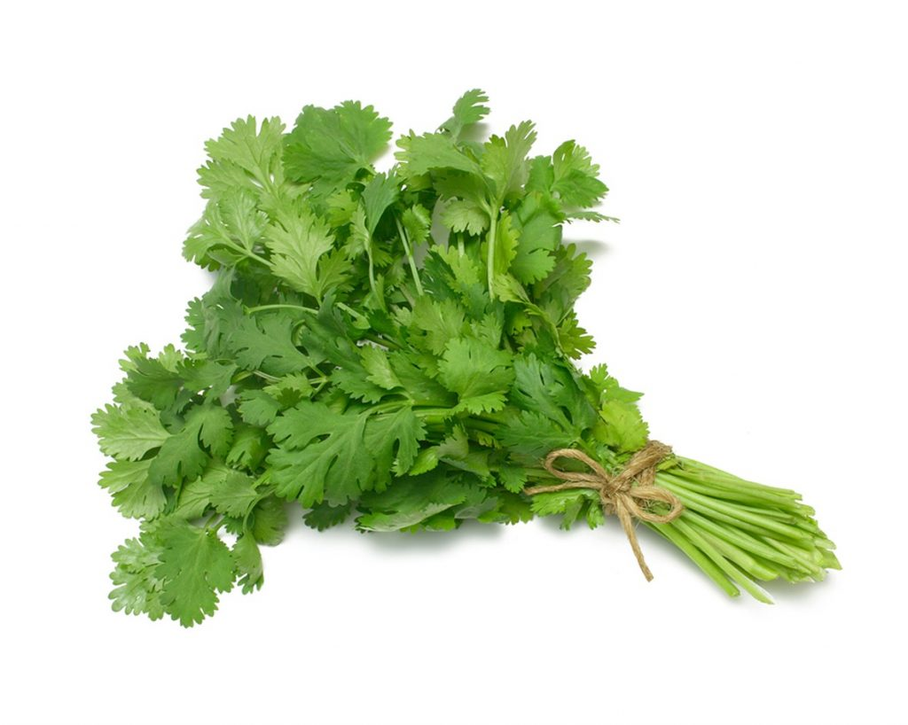 Organic Cilantro | Medicinal herbs to have in your garden and grow at home