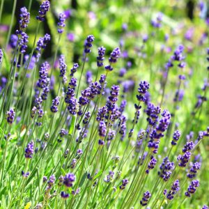 Common English Lavender