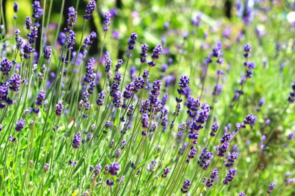 Common English Lavender