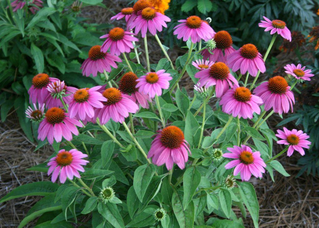 Echinacea | List of Medicinal Herbs