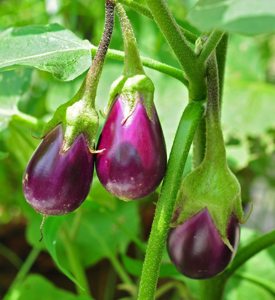 Organic Eggplant | List of vegetables you can grow year-round
