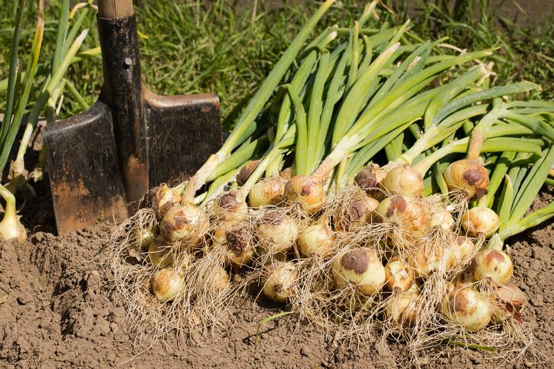 Organic Garlic | Root vegetables you can grow year round