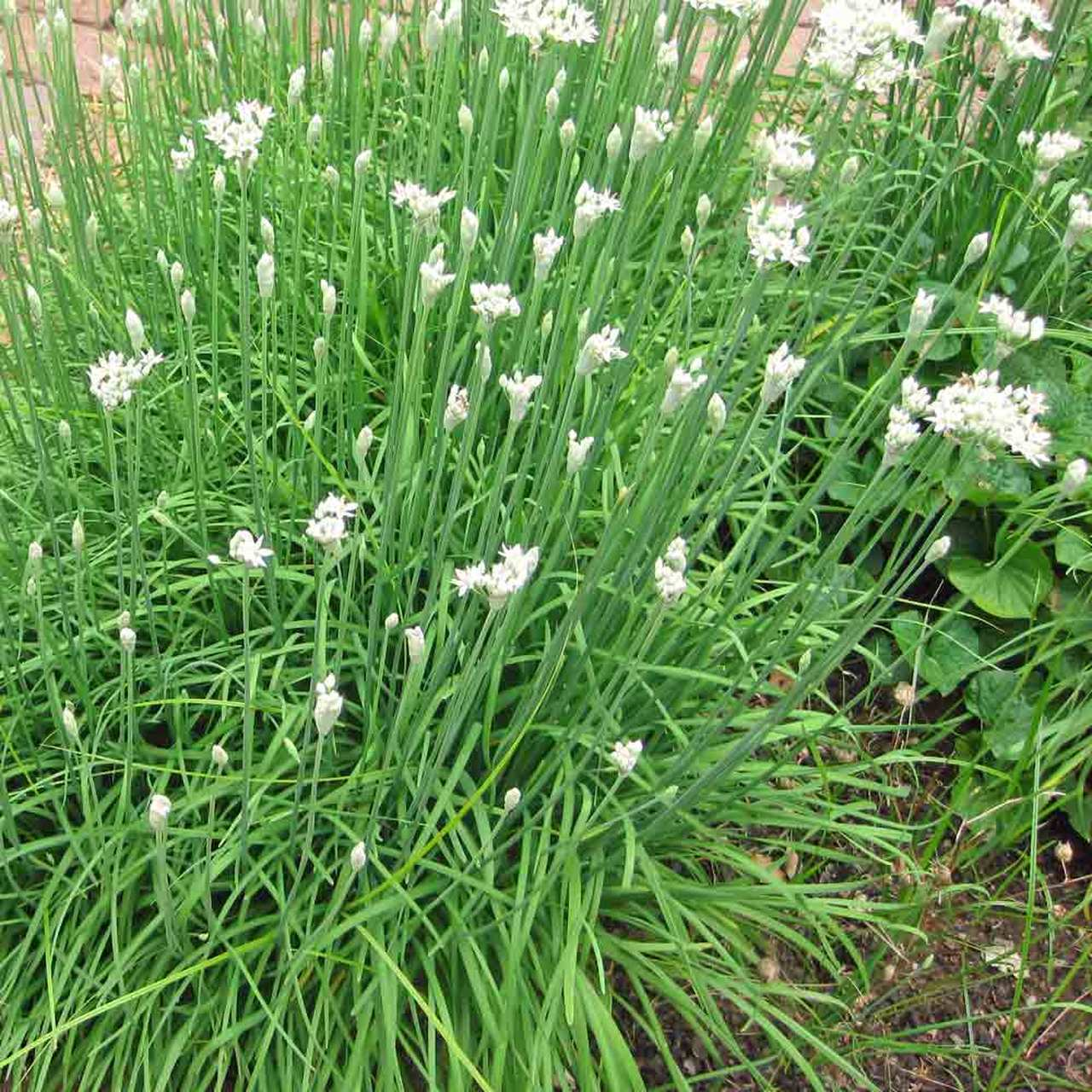 Growing Garlic Chives from Seed