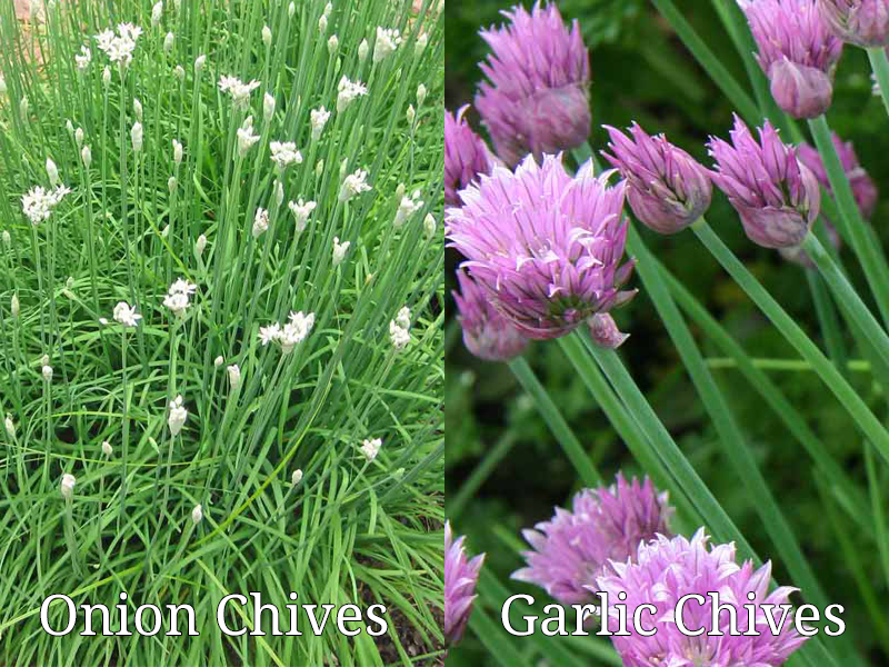 Garlic Chives vs. Onion Chives