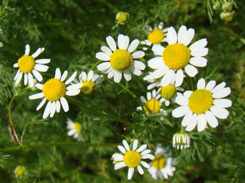German Chamomile | Natural Medicinal Herbs List
