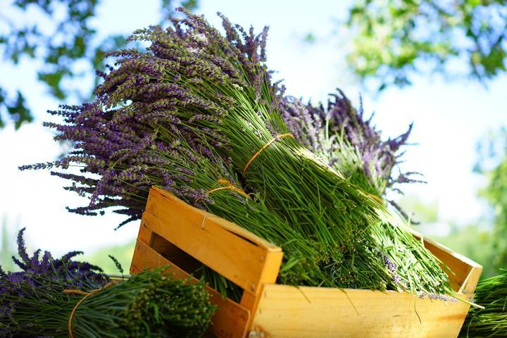 Lavender Seeds - Lavender Dried