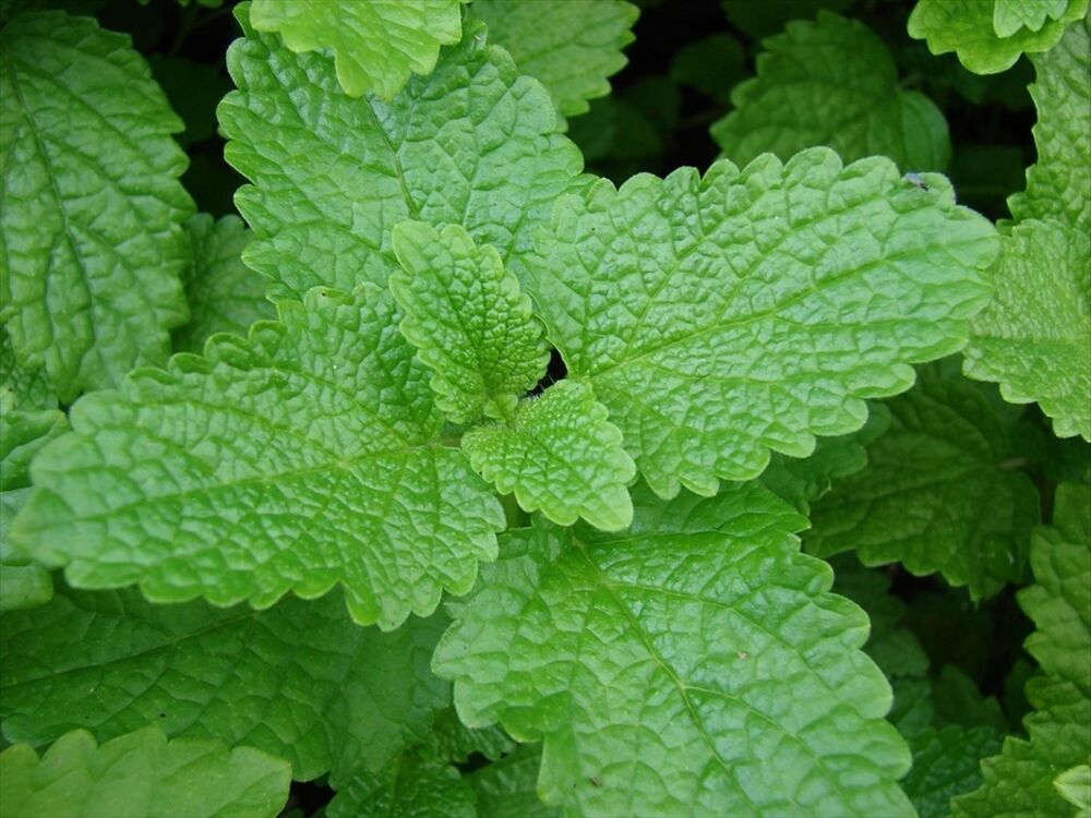 Lemon Balm - List of Medicinal Herbs and Plants