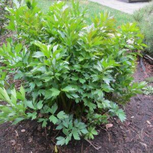 Lovage Herb Plant