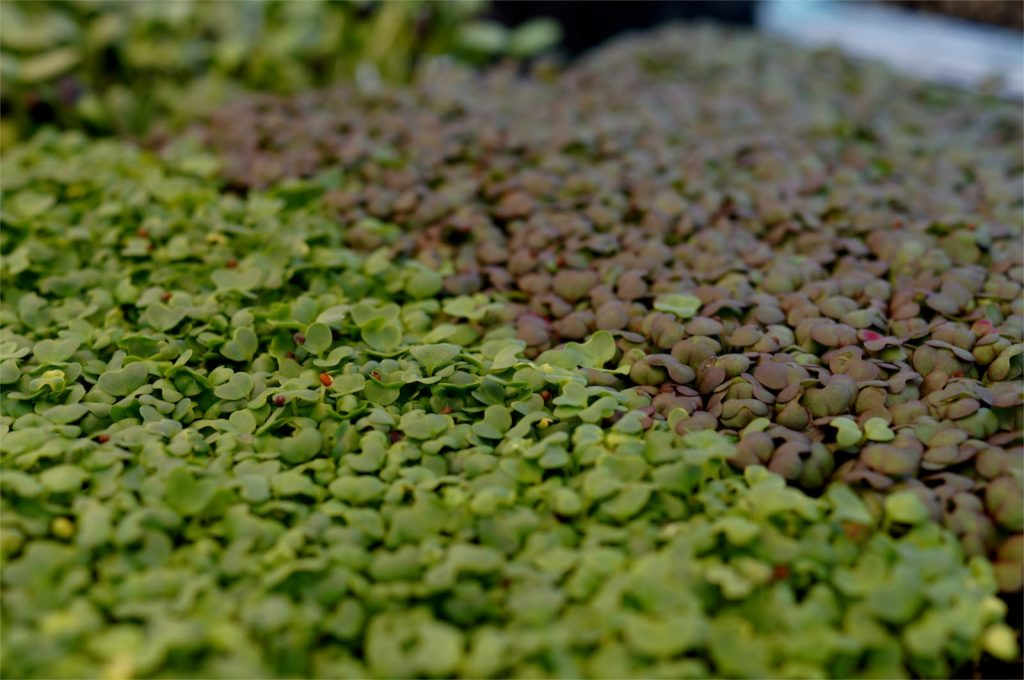 Microgreens | List of vegetables for all year growing