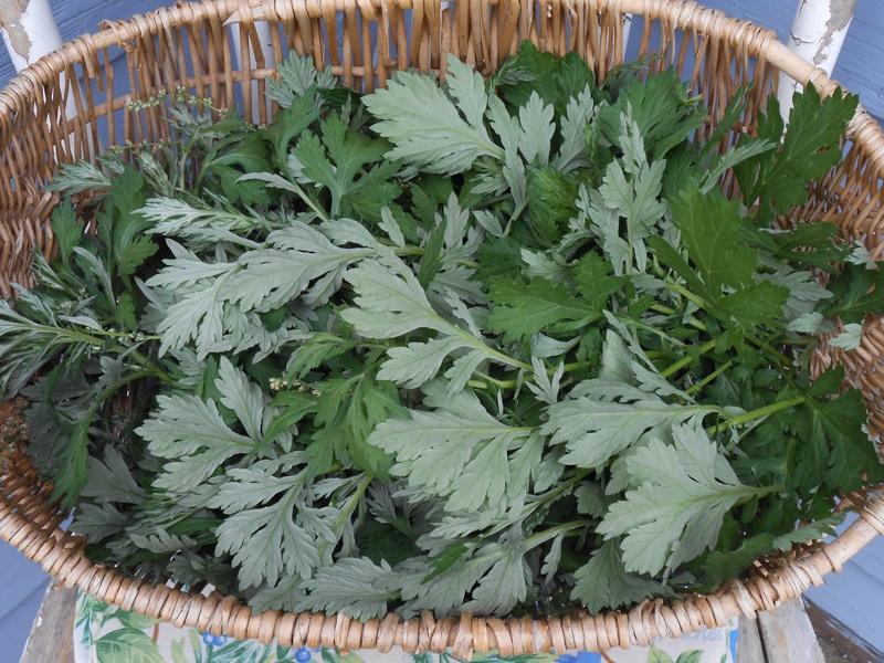 Mugwort wormwood leaves