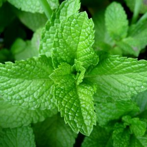 Peppermint | Herbs as Medicine