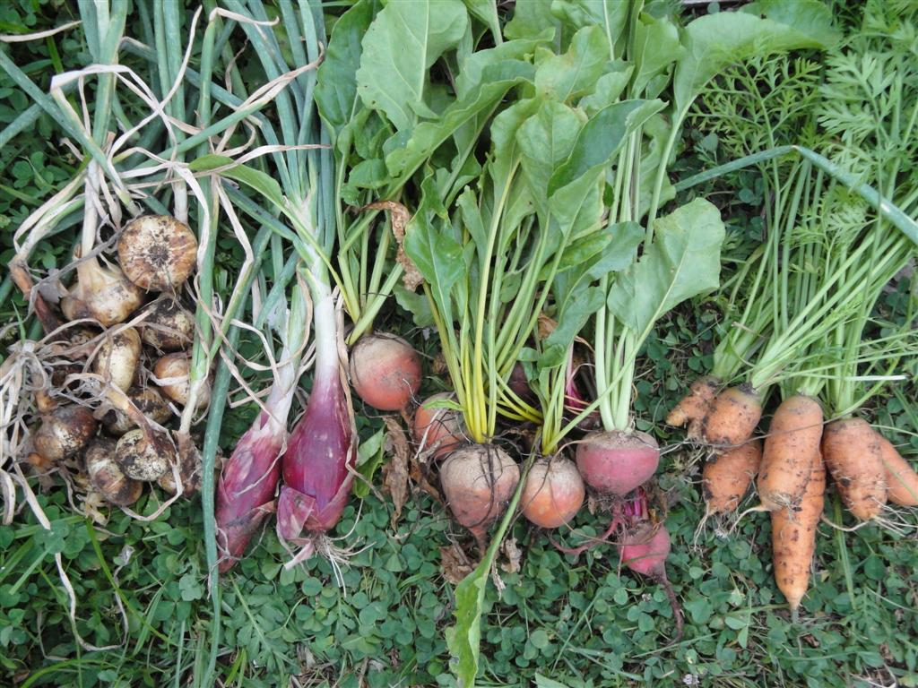 Root Vegetables | Grow all year in your backyard or greenhouse