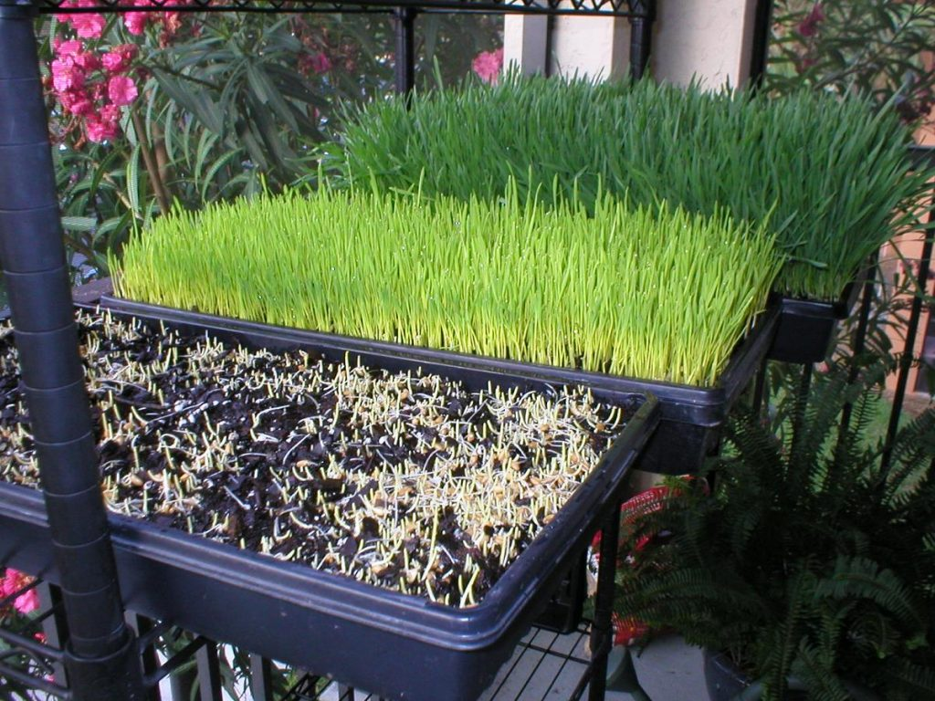 Wheatgrass | List of vegetables you can grow year-round