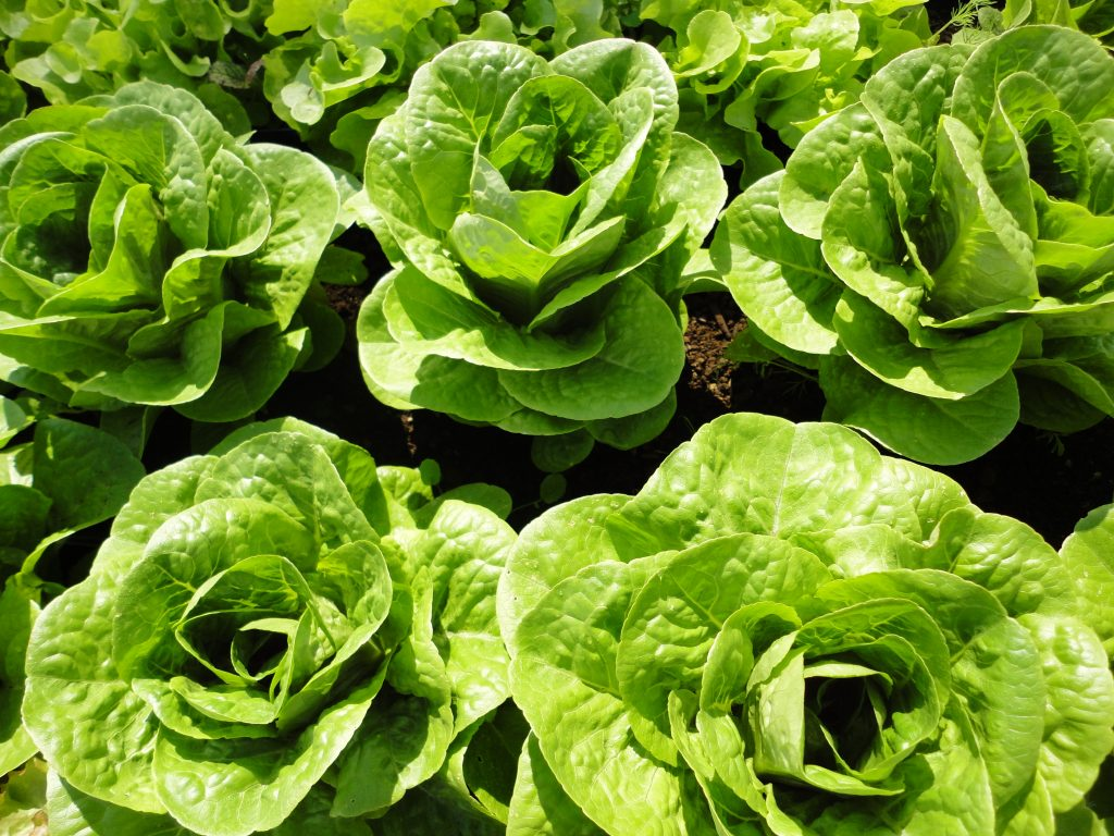 Organic Winter Lettuce | List of vegetables that can be grown year round