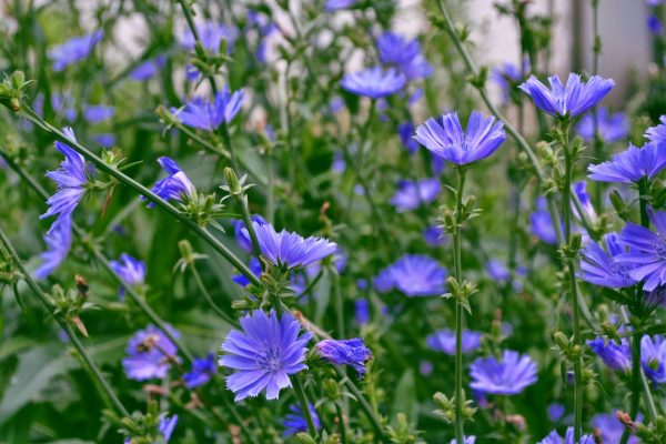 chicory wildflower seeds