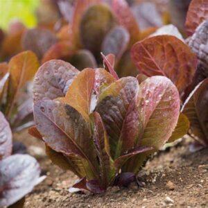 cimmaron lettuce seeds