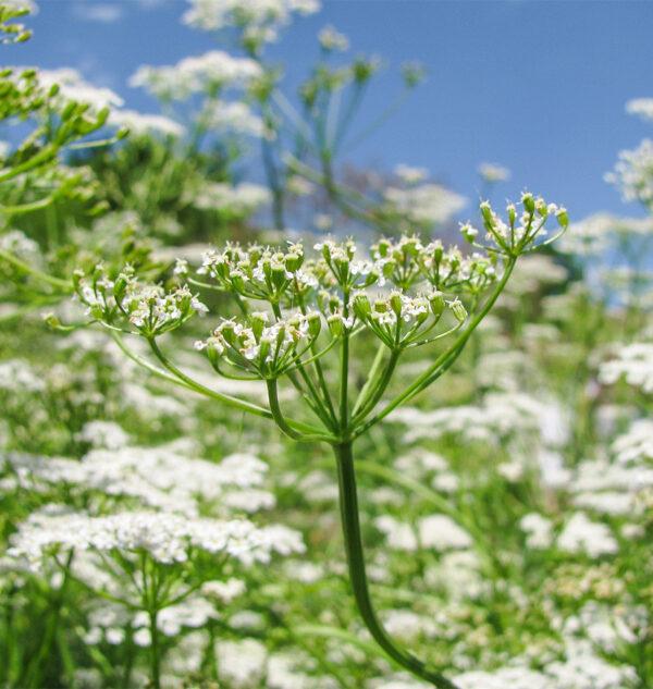 cumin plant seeds