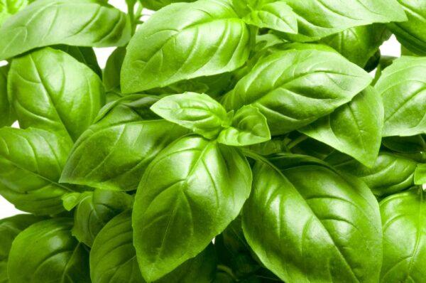 italian large leaf basil seeds