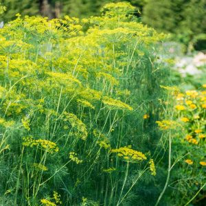 mammoth long island dill seeds