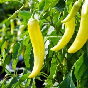 banana pepper seeds