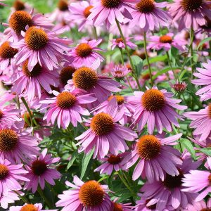 purple coneflowers echinacea