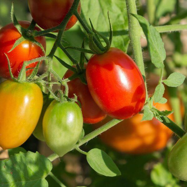 roma tomato seeds