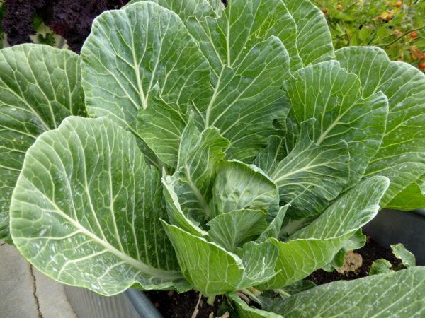 collard green seeds